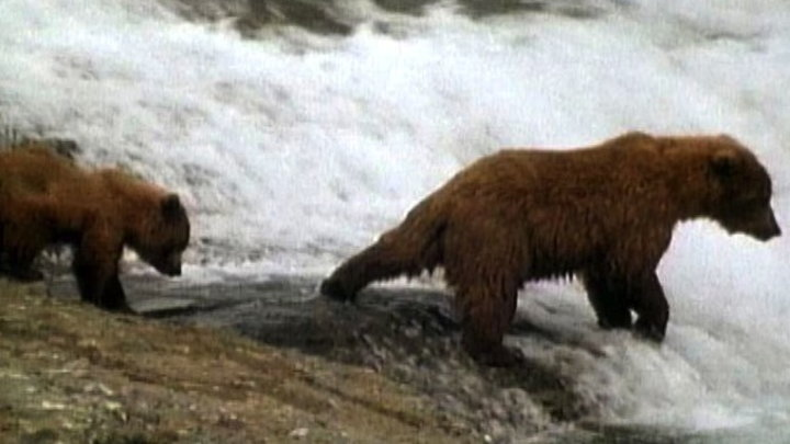 National Geographic Animals - Mama Grizzly Teaches Cubs to Fish